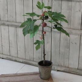 Fleur FikentreH76 cm grønn , hemmetshjarta.no