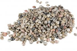 Shell Umbonium ca 1cm 2kg , hemmetshjarta.no