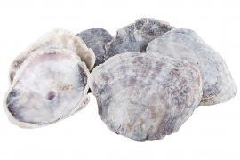 Shell Placuna Cap 8-15cm 1kg , hemmetshjarta.no