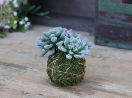 Fleur Gressløk med mosekule H12 cm grønn , hemmetshjarta.no