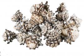 Skjell Ceranicum 5-7cm 1kg , hemmetshjarta.no
